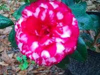 bobby-fain-camellia-1-04-15-img_39733