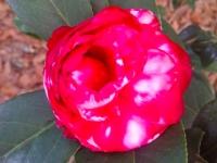 bobby-fain-camellia-12-28-14-img_9979