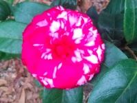 bobby-fain-camellia-12-30-14-img_14770