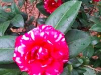 bobby-fain-camellia2-1-04-15-img_15665