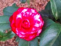 bobby-fain-camellia2-12-27-14-img_57638