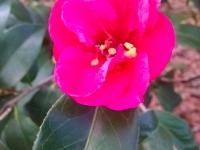 christmas-beauty-camellia-12-28-14-img_31605