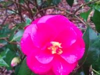 christmas-beauty-camellia2-1-04-15-img_27292