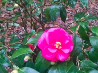 christmas-beauty-camellia3-1-04-15-img_117817