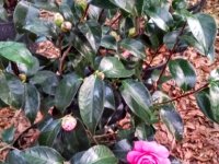 jacks-camellia2-12-28-14-img_34919_hdr