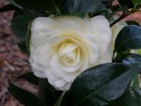 lemon-glow-yellow-camellia-close-up-jan-2013-dscn0918