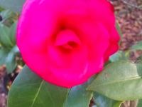 mike-whitman-camellia-12-25-14-08513