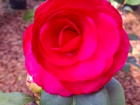 mike-whitman-camellia-12-26-14-img-578671