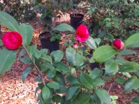 mike-whitman-camellia-wide-shot-12-27-14-img_48517