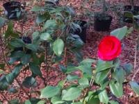 mike-whitman-camellia-wide-shot2-12-27-14-img_04716