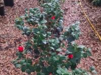 professor-sargent-camellias-wide-shot-12-28-14-img_-39770