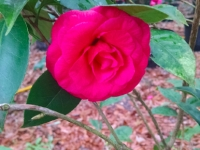 rose-hill-red-camellia-1-04-15-img_654487