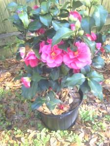 'Christmas Beauty' Camellia- March 2012-moto_0507