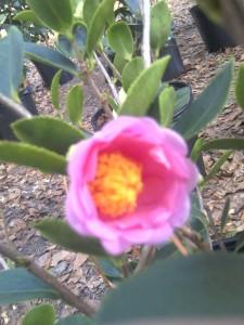 ' Frost Princess' Camellia 12-15-12-'moto_0221