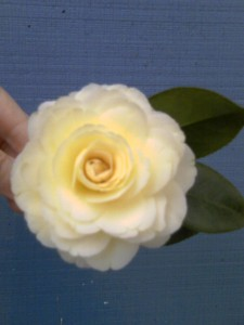 'Lemon Glow' camellia-2-04-12-moto_0376