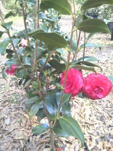 'Mike Whitman' camellia-3-30-13- moto_0336