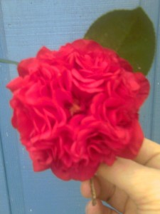 'Professor Charles Sargent' Japonica Camellia- 2012-moto_0122