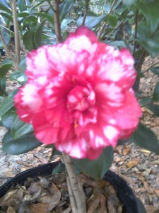 Bobby Fain Variegated camellia