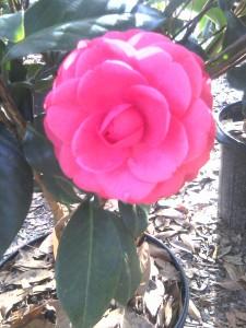 Jacks camellia