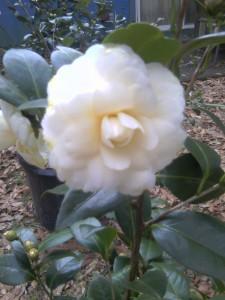 Lemon Glow camellia