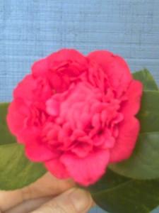 Professor Charles S. Sargent camellia