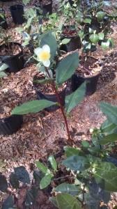 Large Tea Leaf Sinensis camellia- 46237