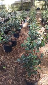 New camellias