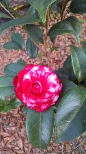 Bobby Fain camellia