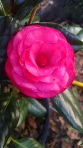 C.M. Hovey camellia