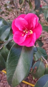 Christmas Beauty camellia