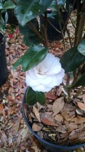 Harriet Bisbee camellia