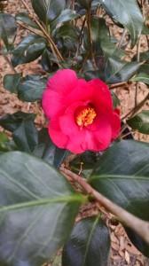 Lady Vansittart camellia