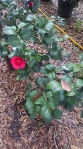 Professor Charles Sargent camellia
