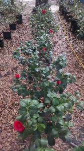 Professor Charles Sargent camellias