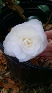 Satsuma camellia