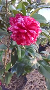 Bobby Fain camellia 12-11-15