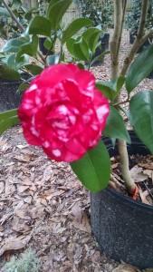 Bobby Fain camellia-CHIMG_905840