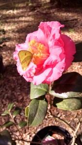 Fashionata camellia 16CHIMG_522_HDR