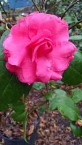 In The Pink Variegated - dark pink