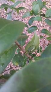 Green Frog on camellia-IMG_20170201_134631661