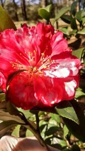 Ladybug in camellia2- IMG_20170209_110729705_HDR