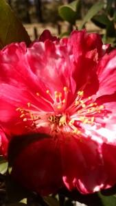 Ladybug on camellia3-IMG_20170209_110718455