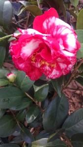 bobby-fain-variegated-camellia-2-chimg_20161208_103157608
