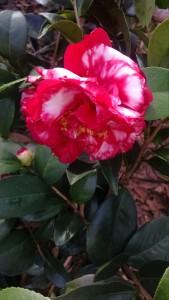 bobby-fain-variegated-camellia-chimg_20161208_103204995