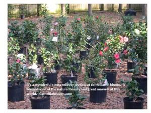 camellia-quote-stress-reliever-9-17-16