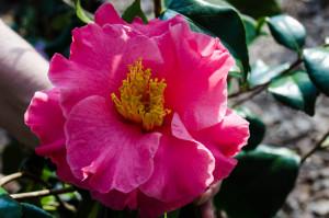 fashionata-camellia-2-dsc_0016