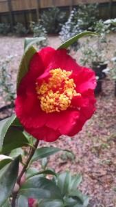 Laura Walker camellia2-CHIMG_20170122_140749849