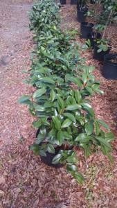 Tudor baby camellia row1 _2-24-17 CHIMG_20170224_123443979